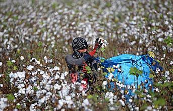 'Gelinlik giyen' tarlalarda sıcakta zorlu mesai