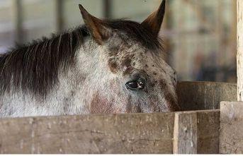 Veteriner Hekim Ayşe Yetiş: Yanlış Beslenme ve Hareketsizlik Atları Öldürür