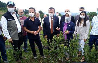 Bursa'da yaban mersini hasatı başladı
