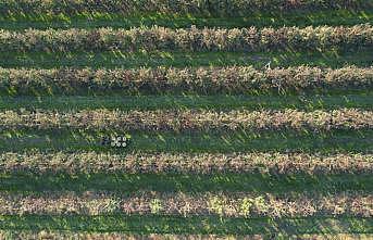Edirne'de armut hasadı başladı