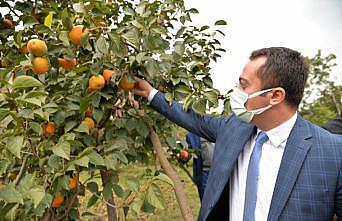 "Bilecik'te ""Trabzon hurması"" hasadı"