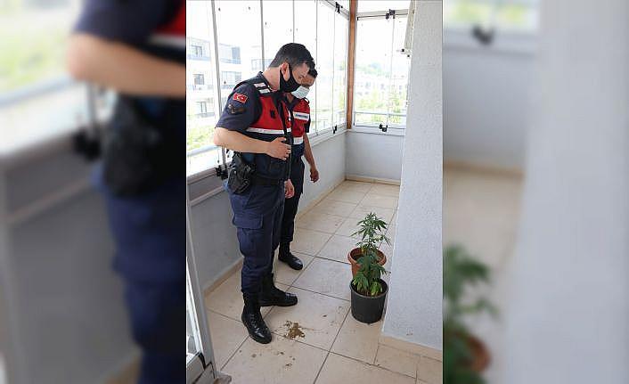Yalova'da uyuşturucu üretmek için saksıda Hint keneviri yetiştirdiği iddia edilen zanlı yakalandı