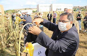 Gebze Teknik Üniversitesinin sürdürülebilir tarım çalışmasında ayçiçeği hasadı yapıldı