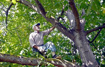 Kocaeli'de bahçesinde yetiştirdiği cevizleri kendi toplayan Halit dede örnek oluyor