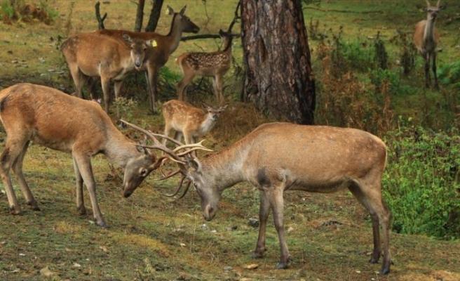 İki geyikle kuruldu çok sayıda kızıl geyiği doğaya kazandırdı