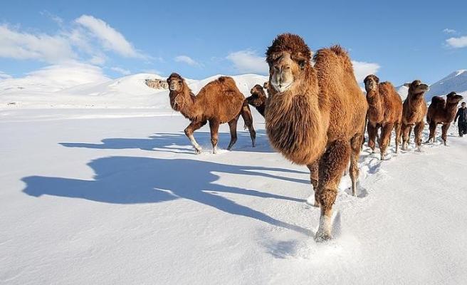Güreş develerini karlı tepelerde yetiştiriyorlar