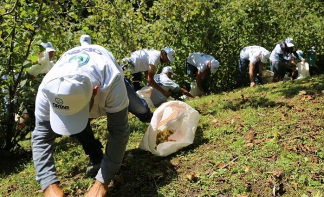 Sigortalı fındık işçileri hasada başladı