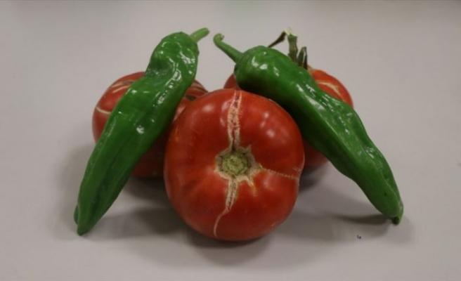 'Sazlıca domatesi' ve 'Bor biberi'nin gen kaynakları araştırılıyor