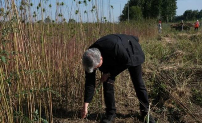 Ekimi yapılan endüstriyel kenevirlerin hasadı başladı