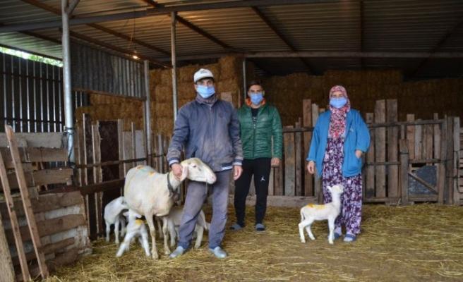Çanakkale'de koyun tek batında 5 kuzu doğurdu