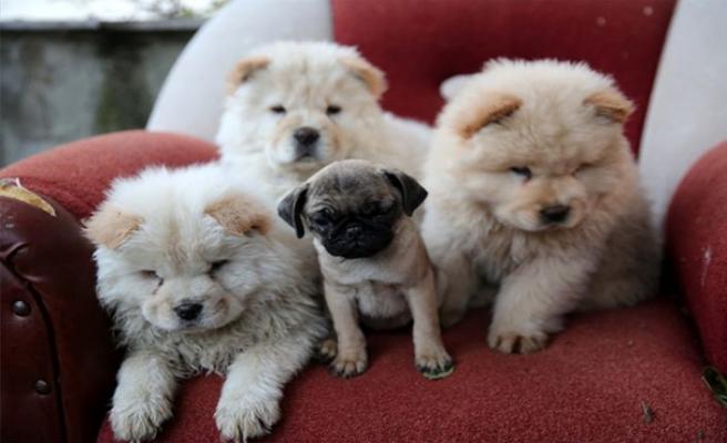 Edirne'de bir araçta pomerian cinsi 7 köpek yavrusu yakalandı