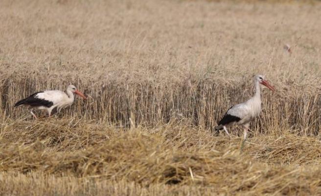 Edirne'de leylekler hasat edilen tarlalarda yiyecek arıyor