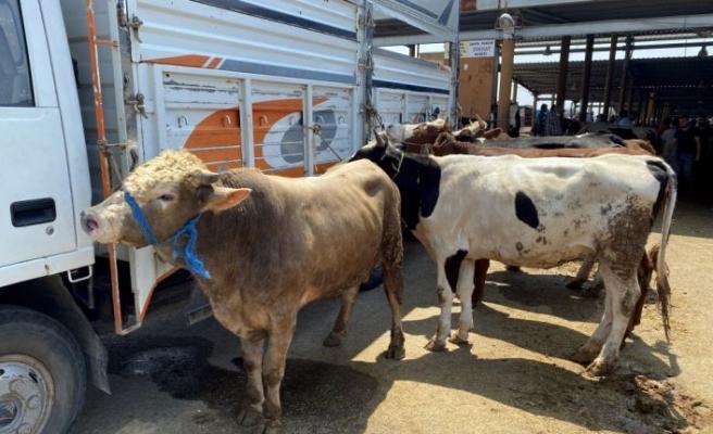 Sakarya ve Kocaeli'de hayvan pazarındaki kurbanlıklar alıcılarını bekliyor