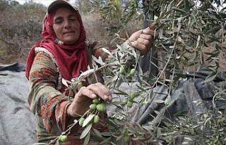 Batı Şeria'da zeytin hasadı ve Yahudi yerleşimci...