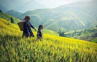 Çin genetiği değiştirilmiş yeni bir pirinç türü...