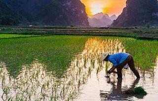 Nükleer felaketin yaşandığı kasabaya pirinç...