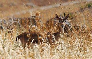 'Gazella gazella' türü dağ ceylanlarının varlığı...