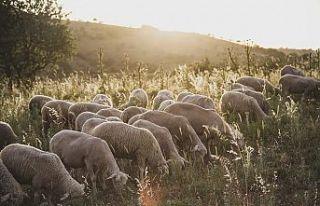 Tescilli Balıkesir kuzu eti Türkiye'de ilki başardı