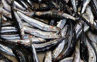 Marmara'da hamsi balıkçının yüzünü güldürüyor
