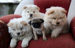 Edirne'de bir araçta pomerian cinsi 7 köpek...
