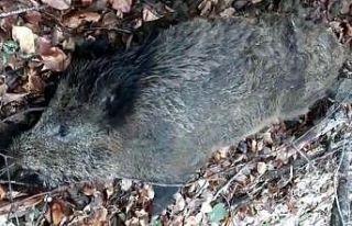 Kırklareli'nde yaban domuzlarının ölümü...