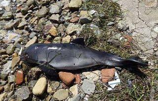 Çanakkale'de ölü yunus karaya vurdu