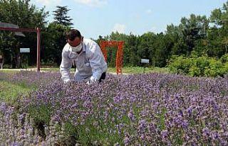 Edirne'de lavanta tarlalarında hasat başladı