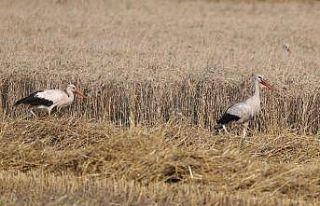 Edirne'de leylekler hasat edilen tarlalarda yiyecek...
