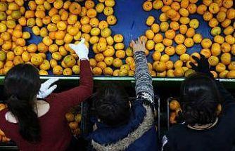 Adana'da narenciye hasadı yüz güldürüyor