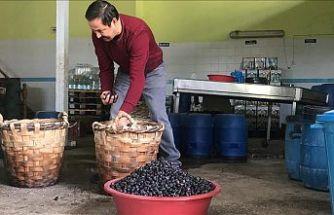 Dededen kalma yöntemle hasır küfelerde sele zeytini hazırlıyor