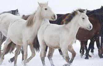 Yılkı atları kar üstünde ayrı güzel