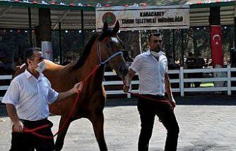 Bursa'da safkan Arap taylarının satışından 3,1 milyon lira gelir elde edildi