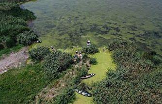 Uluabat Gölü'nün rengi alg patlamasıyla yeşile büründü