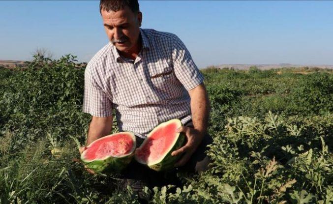 """Tescilli """"Diyarbakır Karpuzu""""nda hasat sevinci"""