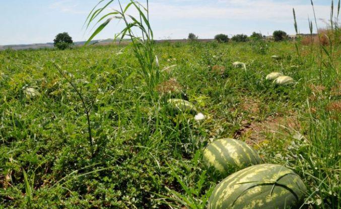 Karacabey Ovası'nda karpuz ve kavun hasadı bu hafta başlayacak